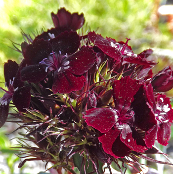 sooty sweet william