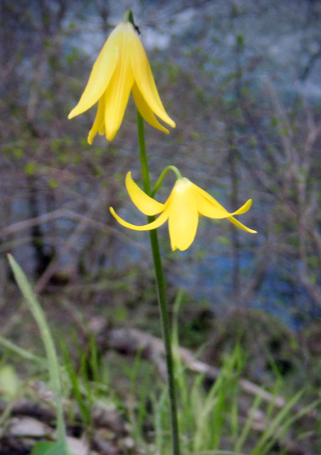 Featured Plant-Fawn Lily