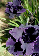 Nearly Black Pacific Coast Iris